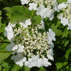 Viburnum trilobum 'Wentworth'-#3 Container<br/>Wentworth Viburnum