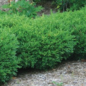 Buxus microphylla 'Franklins Gem'-#2 Container<br/>Franklins Gem Boxwood