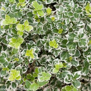 Euonymus fortunei 'White Album™' -#2 Container<br/>White Album™ Wintercreeper