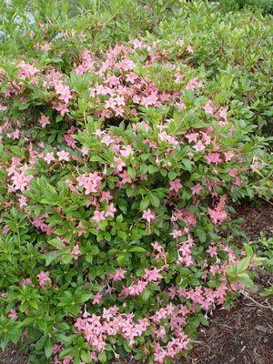 Rhododendron (Azalea) viscosum 'Pink And Sweet'-#2 Container<br/>Pink and Sweet Swamp Azalea
