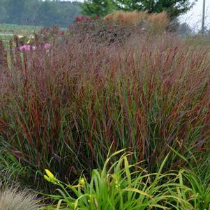 Panicum virgatum 'Cheyenne Sky'-#1 Container<br/>Cheyenne Sky Red Switch Grass