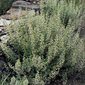 Ornamental Grass - Feather Reed Grass 'Nepeta' - 2 Gal.