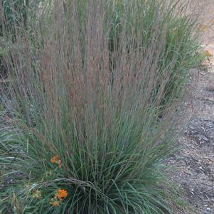 Ornamental Grass-Little Bluestem 'Blue Heaven' - #2