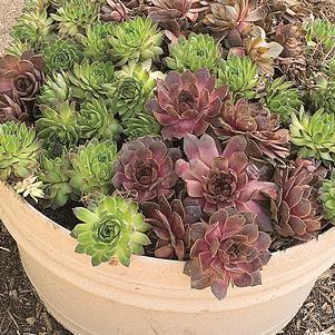 Sempervivum tectorum-#1 Container<br/>Sempervivum Hens and Chicks