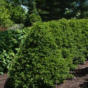 Taxus cuspidata 'Captain'-#7 Container<br/>Captain Yew