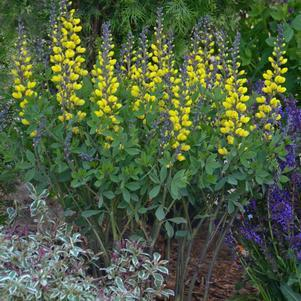 Baptisia Decadence&#174; 'Lemon Meringue'-#1 Container<br/>Lemon Meringue False Indigo