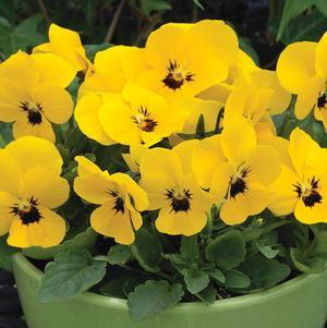 Viola 'Penny Yellow Blotch'-#1 Container<br/>
