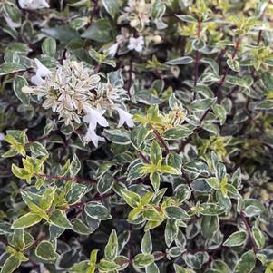 Abelia X grandiflora 'Radiance'-#3 Container<br/>Radiance Glossy Abelia