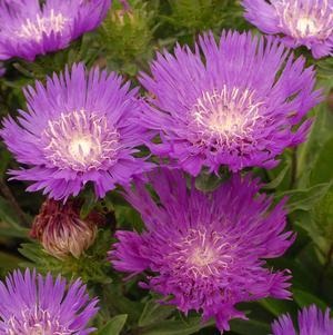 Stokesia 'Honeysong Purple'-#1 Container<br/>Honeysong Purple Stokes Aster
