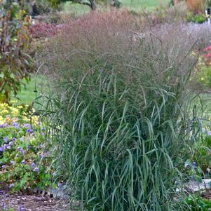 Panicum Prairie Winds  'Apache Rose'-#1 Container<br/>Prairie Winds&#8482; Apache Rose