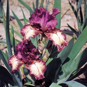 Iris-Bearded 'Rock Star' - 1 Gal.