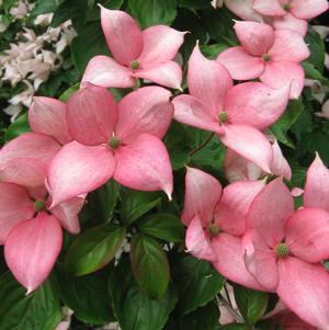 Cornus X 'Rosy Teacups®-#7 Container<br/>Rosy Teacups®Dogwood