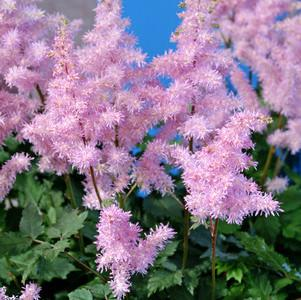 Astilbe X ardensii 'Ice Cream'-8`` Container<br/>Ice Cream Astilbe