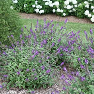Buddleia Lo & Behold&#174;'Blue Chip Jr.'-#3 Container<br/>Lo & Behold&#174; Blue Chip Jr. Butterfly Bush