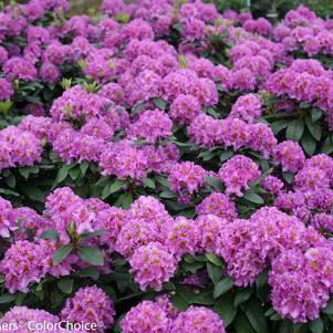 Rhododendron X 'Dandy Man  Purple'-#2 Container<br/>Dandy Man&#8482; Purple Rhododendron