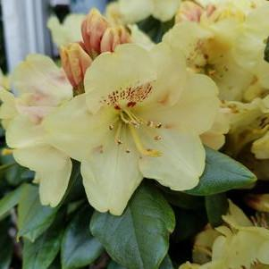 Rhododendron miyama 'Gold Prinz'-#3 Container<br/>Gold Prinz Rhododendron