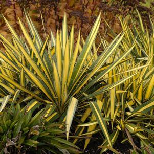 Yucca filamentosa 'Color Guard'-#3 Container<br/>Color Guard Yucca