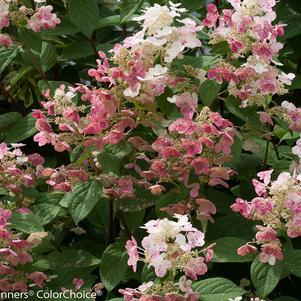 Hydrangea paniculata 'Quick Fire' - Tree Form-#7 Container<br/>Quick Fire? Hardy Hydrangea - Tree Form