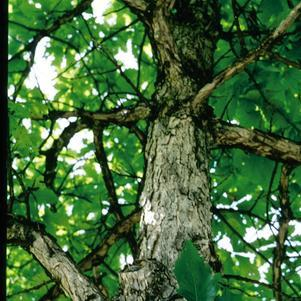 Quercus bicolor-#15 Container<br/>Swamp White Oak