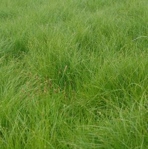 Carex appalachica-#1 Container<br/>Appalachian Sedge