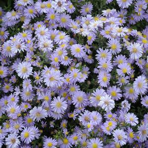 Aster novae-angliae Kickin$#174; 'Lavender'-#2 Container<br/>Kickin$#174; Lavender Fall Aster