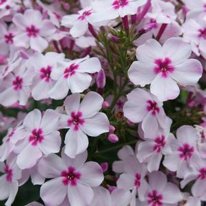 Phlox 'Volcano White/Rose Eye'-#1 Container<br/>Volcano White with Rose Eye Garden Phlox