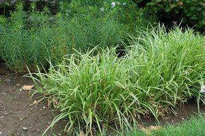 Carex morowii 'Ice Dance'-#1 Container<br/>Ice Dance Variegated Japanese Sedge Grass