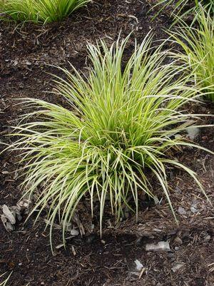 Carex morrowii 'Evergold'-#1 Container<br/>Evergold Variegated Japanese Sedge