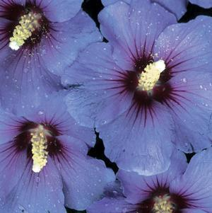 Hibiscus syriacus 'Blue Satin' - Tree Form-#7 Container<br/>