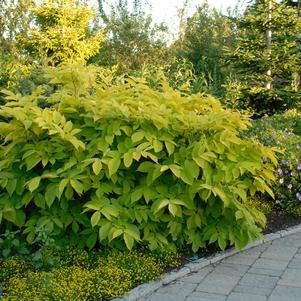 Aralia cordata 'Sun King'-#2 Container<br/>Golden Japanese Spikenard