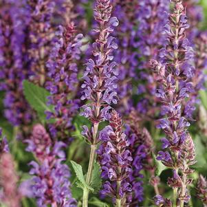 Salvia Color Spires 'Violet Riot'-#1 Container<br/>Color Spires? Violet Riot Meadow Sage