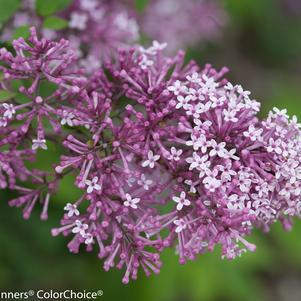Syringa X 'Bloomerang Purple' Tree-#10 Container<br/>