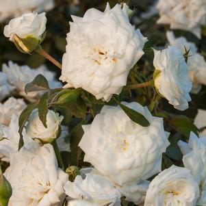 Rosa 'White Drift'-#2 Container<br/>The White Drift? Rose