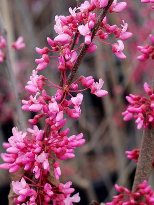 Cercis canadensis-#15 Container<br/>Red Bud