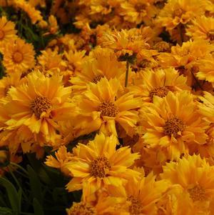 Coreopsis 'Jethro Tull'-#1 Container<br/>Jethro Tull Tickseed