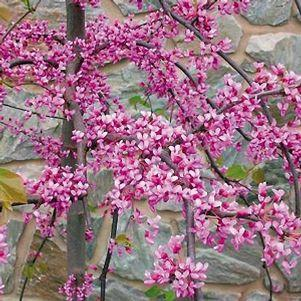 Cercis canadensis 'Pink Heartbreaker'-#15 Container<br/>Pink Heartbreaker Redbud