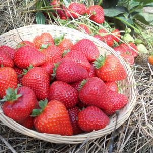 Strawberry 'Sweet Kiss'-#1 Container<br/>Sweet Kiss Strawberry