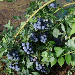Vaccinium corymbosum 'Berries Galore'-#3 Container<br/>Berries Galore Blueberry
