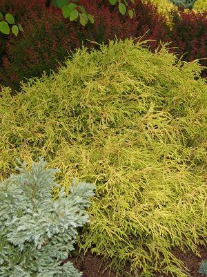 Chamaecyparis pisifera 'Filifera Aurea'-#10 Container<br/>Gold Thread Cypress