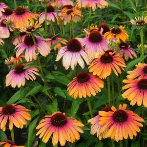 Echinacea purpurea Butterfly™ 'Rainbow Marcella'-8`` Container<br/>Butterfly™ Rainbow Marcella Coneflower