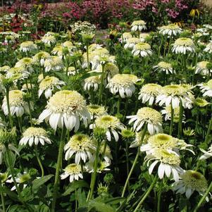 Echinacea 'White Double Delight'-8`` Container<br/>White Double Delight Coneflower