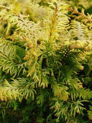 Chamaecyparis obtusa 'Fernspray Gold'-#2 Container<br/>Fernspray Gold False Cypress