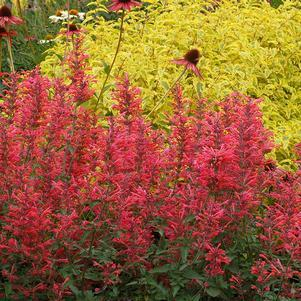 Agastache Kudos™ 'Coral'-8`` Container<br/>Kudos™ Coral Hummingbird Mint