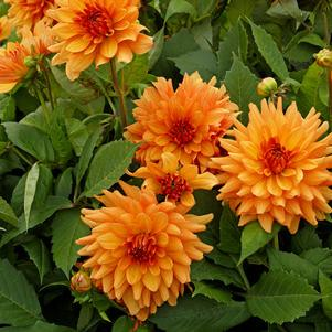 Dahlia 'Orange Glory'-#3 Container<br/>Orange Glory Dinnerplate Dahlia