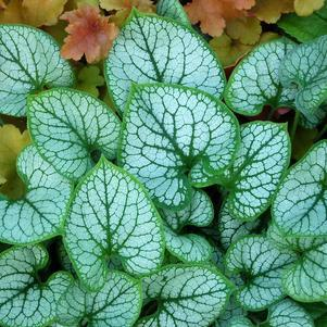 Brunnera macrophylla 'Jack Frost'-8`` Container<br/>Jack Frost Bugloss