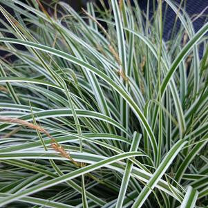 Carex oshimensis Evercolor® 'Everest'-8`` Container<br/>Everest Japanese Sedge