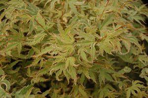 Acer palmatum 'Butterfly'-#5 Container<br/>Butterfly Japanese Maple