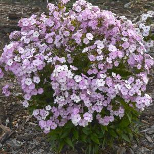 Phlox 'Opening Act Blush'-#1 Container<br/>Opening Act Blush Hybrid Tall Garden Phlox