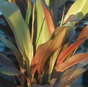 Black Magic Cordyline - #3