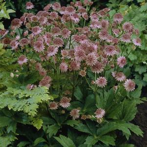 Astrantia major 'Roma'-8`` Container<br/>Roma Masterwort